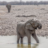 Elephat Drinking Water Royalty Free Stock Image