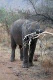 Elephat in Pilanesberg National Park. Elephant in the bushes, eating, in Pilanesberg National Park, South Africa Royalty Free Stock Image