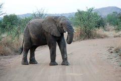 Elephat in Pilanesberg National Park. Elephant crossing a dirt road in Pilanesberg National Park, South Africa Royalty Free Stock Photo