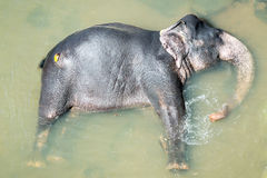 Elephatnt Obrazy Stock