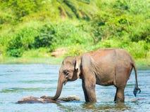 Elephatnt Royalty Free Stock Image