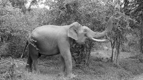 elephatnt selvaggio immagine stock