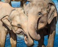 Elephatnts Royalty Free Stock Photo