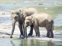 Elephatnts Royalty Free Stock Photos