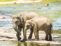 Elephatnts Stock Images