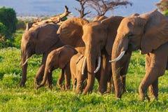Elephats grupa w sawannie Amboseli Kenja Zdjęcie Royalty Free