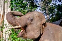 Elephent asiatique en Thaïlande Image stock