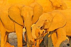 elepjants细节,平衡日落,橙色太阳 从自然的野生生物场面 喝在waterhole l的非洲大象牧群  免版税库存照片