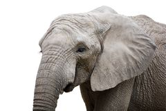 Eleplant. Real elephant isolated on white with clipping mask Royalty Free Stock Image