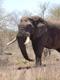 Elephant. Elepohant with large tusks and trunk Royalty Free Stock Photo