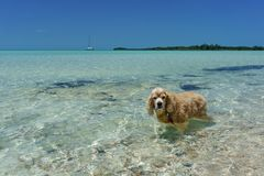 Dog Wading at the Beach stock images
