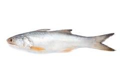 Eleutheronema fish Royalty Free Stock Image
