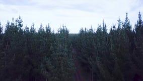 Elevação aérea, terras do pinheiro, Nova Zelândia metragem 4k filme