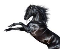 Elevação andaluza preta do cavalo Isolado no fundo branco fotos de stock