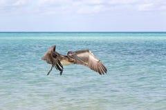 Elevação bonita de um pelicano Foto de Stock Royalty Free