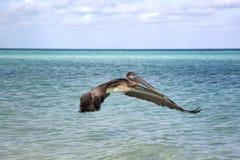 Elevação bonita de um pelicano Fotografia de Stock