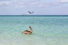 Elevação bonita de um pelicano Fotos de Stock