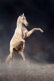Elevação bonita do cavalo fotografia de stock royalty free