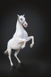 Elevação do cavalo branco isolada no preto Fotografia de Stock Royalty Free