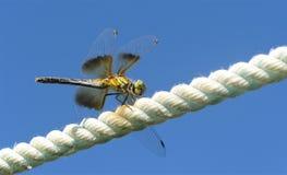 Elevação do voo da libélula em uma corda fotos de stock royalty free