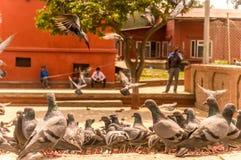 Elevação dos pombos fotografia de stock