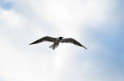 A elevação no céu voa procurar branco solitário da gaivota imagens de stock