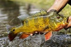 Elevación de un pavo real Bass Out Of The Water foto de archivo