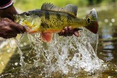 Elevación de un pavo real Bass Out Of The Water fotos de archivo