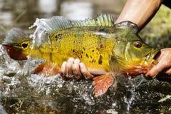 Elevación de un pavo real Bass Out Of The Water imágenes de archivo libres de regalías