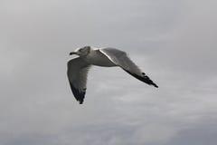 Elevación que vuela de la gaviota de cabeza blanca a través del cielo Imagen de archivo libre de regalías