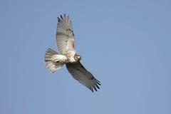 elevación Rojo-atada del halcón Foto de archivo libre de regalías