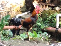 Elevador da galinha um pé imagem de stock