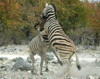 Elevando a zebra Imagens de Stock