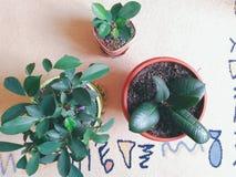 Elevarsi e gioia delle piante d'appartamento di ficus Immagini Stock Libere da Diritti