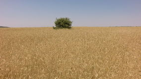 Elevating from wheat field with holm oak in the middle stock video