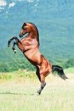 Elevazione araba dello stallion della baia Immagine Stock