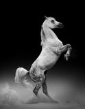 Elevazione araba dello stallone Immagini Stock Libere da Diritti