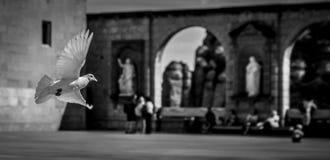 Elevazione bianca della colomba immagini stock libere da diritti