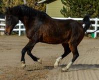 Elevazione del cavallo Fotografia Stock