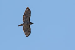 Elevazione rossa del falco della coda Immagine Stock