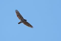 Elevazione rossa del falco della coda Immagini Stock