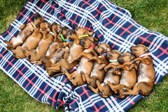 Eleven Rhodesian Ridgeback puppies sleeping on plaid in row. Litter of eleven adorable 3-week-old Rhodesian Ridgeback puppies sleeping in a row on a plaid in the Royalty Free Stock Photos