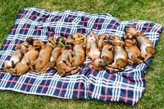 Eleven Rhodesian Ridgeback puppies sleeping on plaid in row. Litter of eleven adorable 3-week-old Rhodesian Ridgeback puppies sleeping in a row on a plaid in the Stock Photo