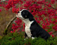 Eleven weeks old female puppy Old English Bulldog. Eleven weeks old tricolor female puppy Old English Bulldog smells of berries on a Euonymus europaeus Royalty Free Stock Photography