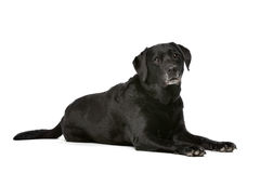 Eleven years old black Labrador Stock Images