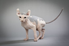 Elf Cat With Colors Stock Image Image Of Mammal Hairless 28735353