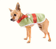 Elf dog Royalty Free Stock Photos