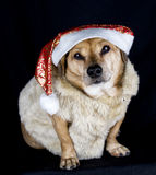 Elf dog Stock Photos