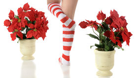 Elf Feet Between Poinsettias Royalty Free Stock Image