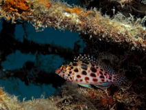 Elf hawkfish Lizenzfreies Stockbild